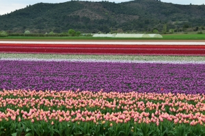 The Tulip fields of La Haute Provence - Another Provençal Secret